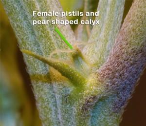 Female flowers