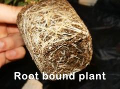 Rootbound cannabis plant