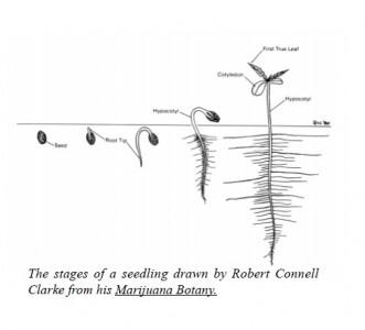 Stages of marijuana seedling growth