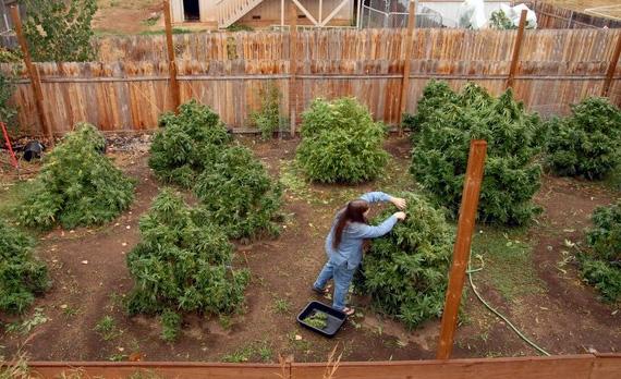 Growing Marijuana Outdoors How To Grow The Easy Way