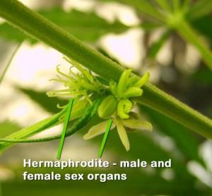 Marijuana hermaphrodite plant