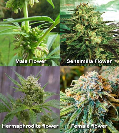 Types of  marijuana flower