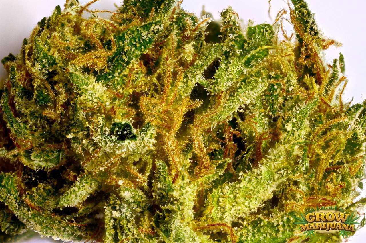 durban poison seeds   strain review grow marijuana