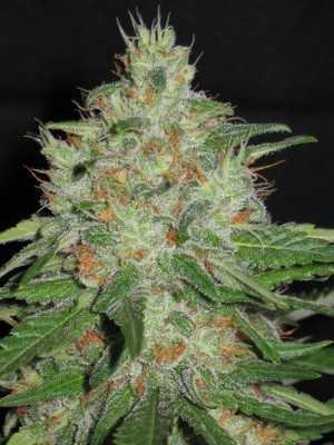 AK 48 weed