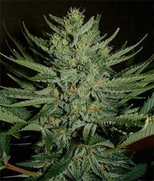 Afghan Weed