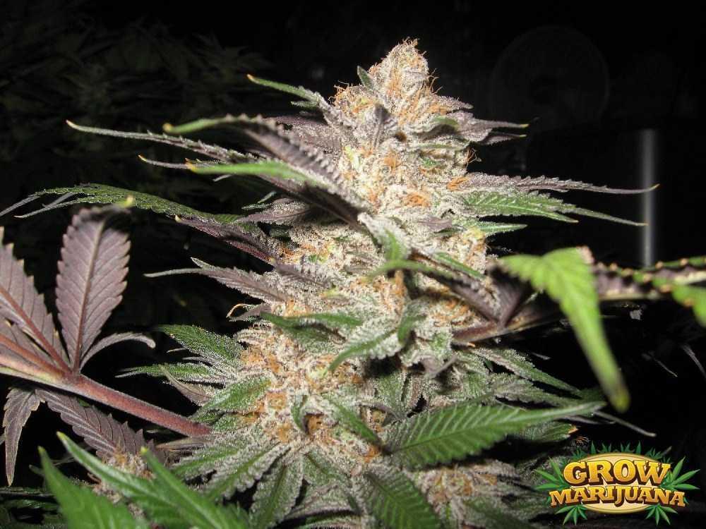 Alien Kush Seeds Strain Review Grow Marijuana Com