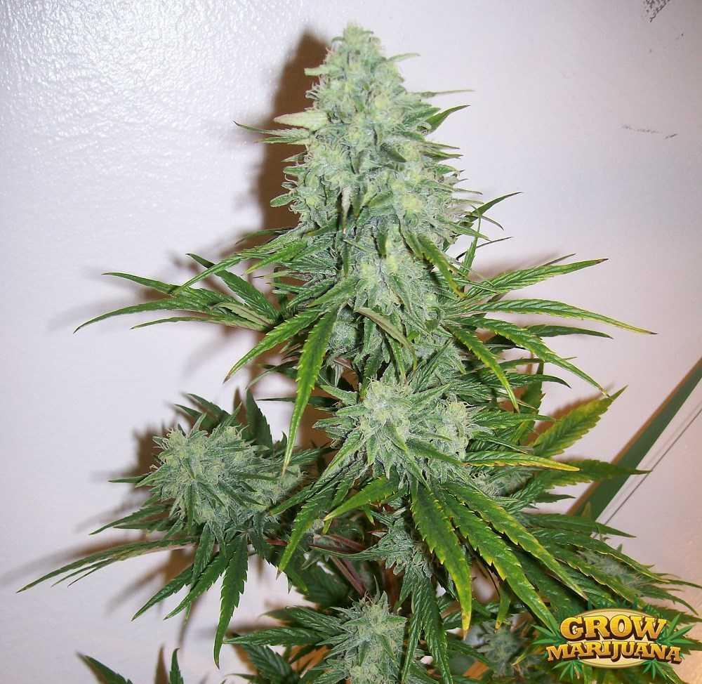 Allen Wrench Seeds Strain Review Grow Marijuana Com