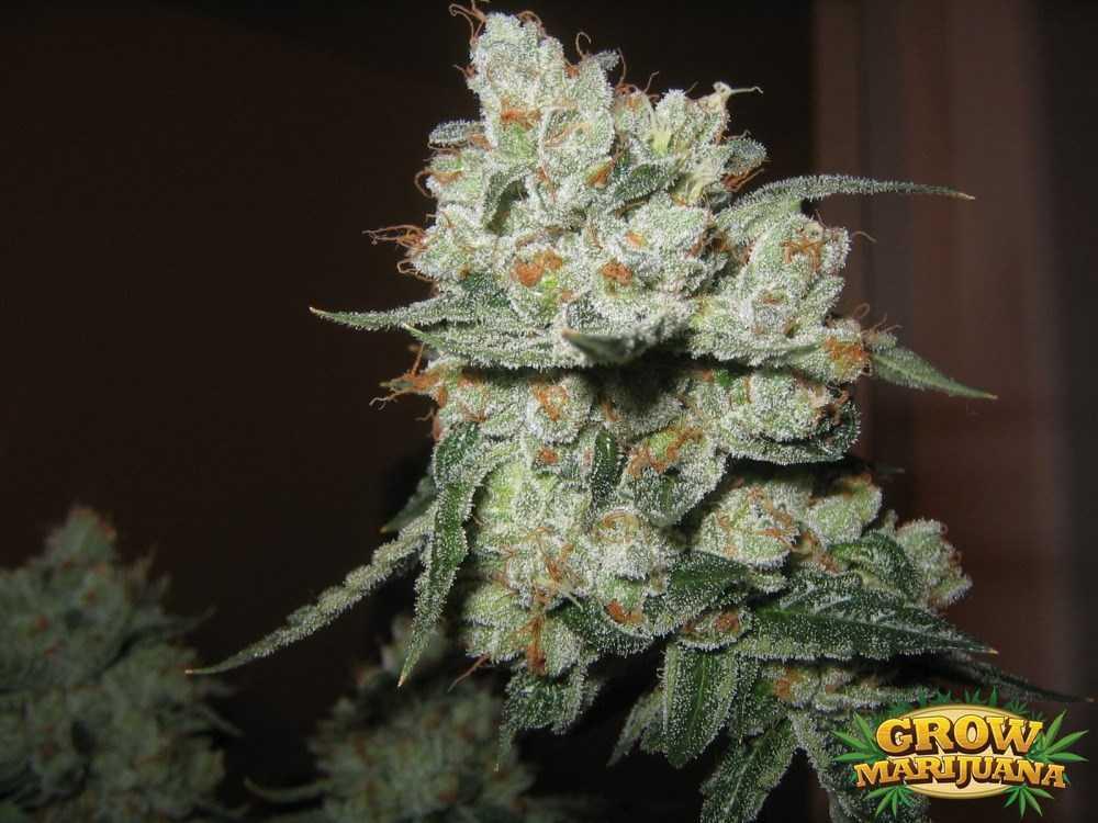 Atomic Seeds Strain Review Grow Marijuana Com
