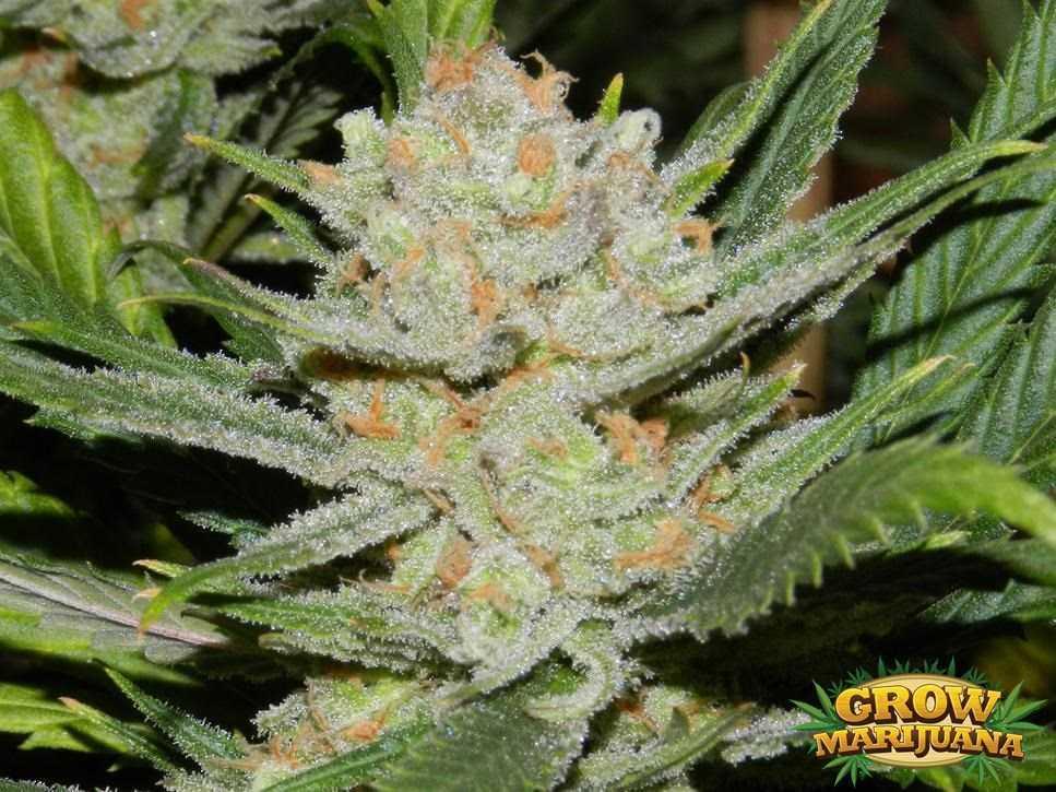 Gorilla Glue Review >> Auto Lemon Haze Seeds - Strain Review   Grow-Marijuana.com
