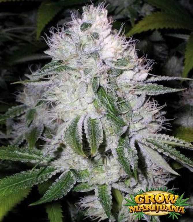 auto widow seeds   strain review grow marijuana
