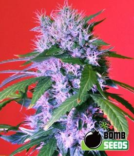 Berry-Bomb