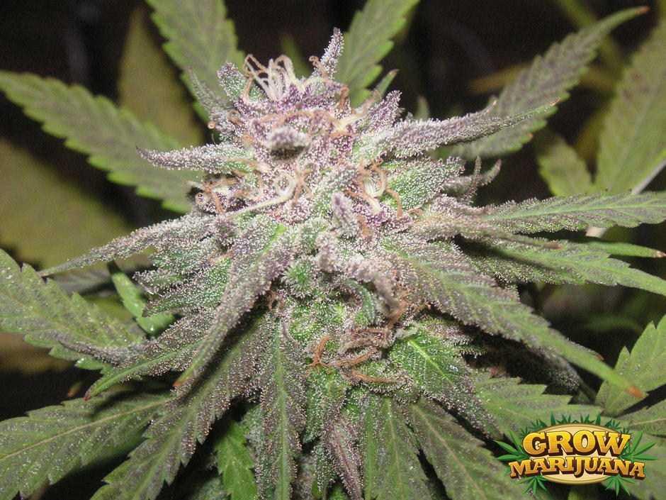 Gorilla Glue Review >> Berry Kush Seeds - Strain Review   Grow-Marijuana.com