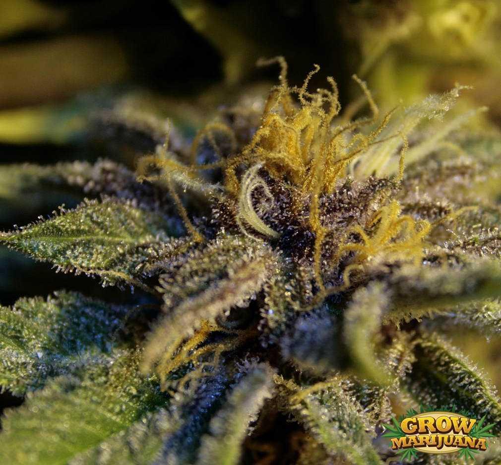 blackberry seeds   strain review grow marijuana