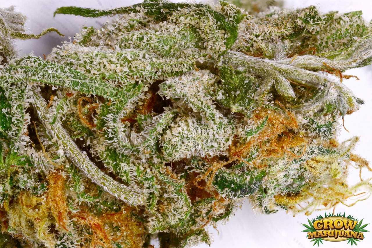 Blue Dream Seeds Strain Review Grow Marijuana