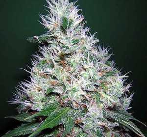 Bubblegum Plant
