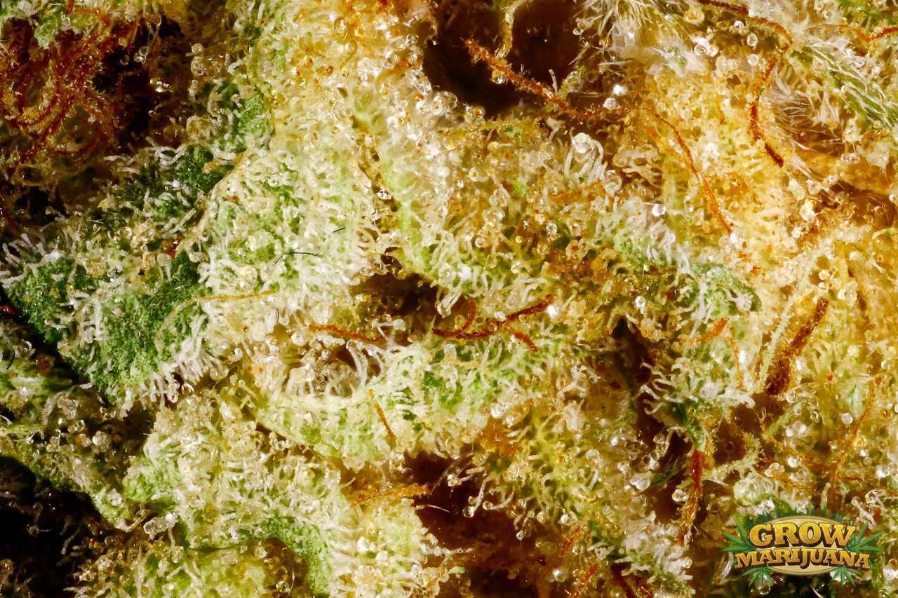 Bubblegum Seeds Strain Review Grow Marijuana Com