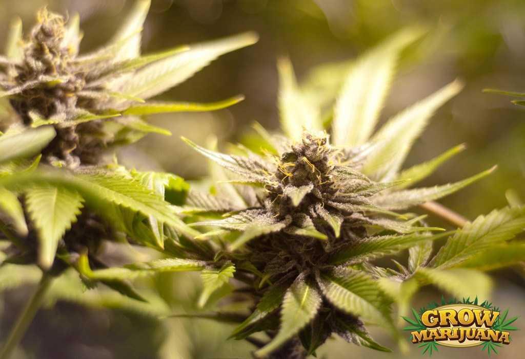 Burmese Kush Seeds Strain Review Grow Marijuana Com