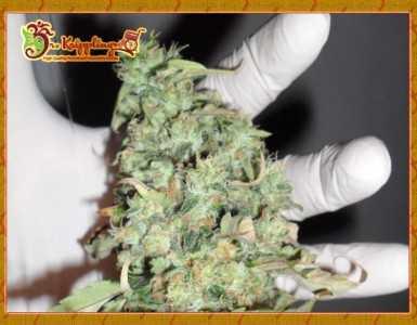 Buzz Light Gear Marijuana