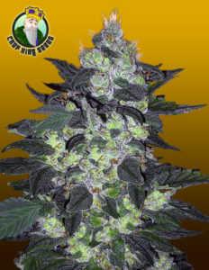candy-cane-auto-marijuana-strain