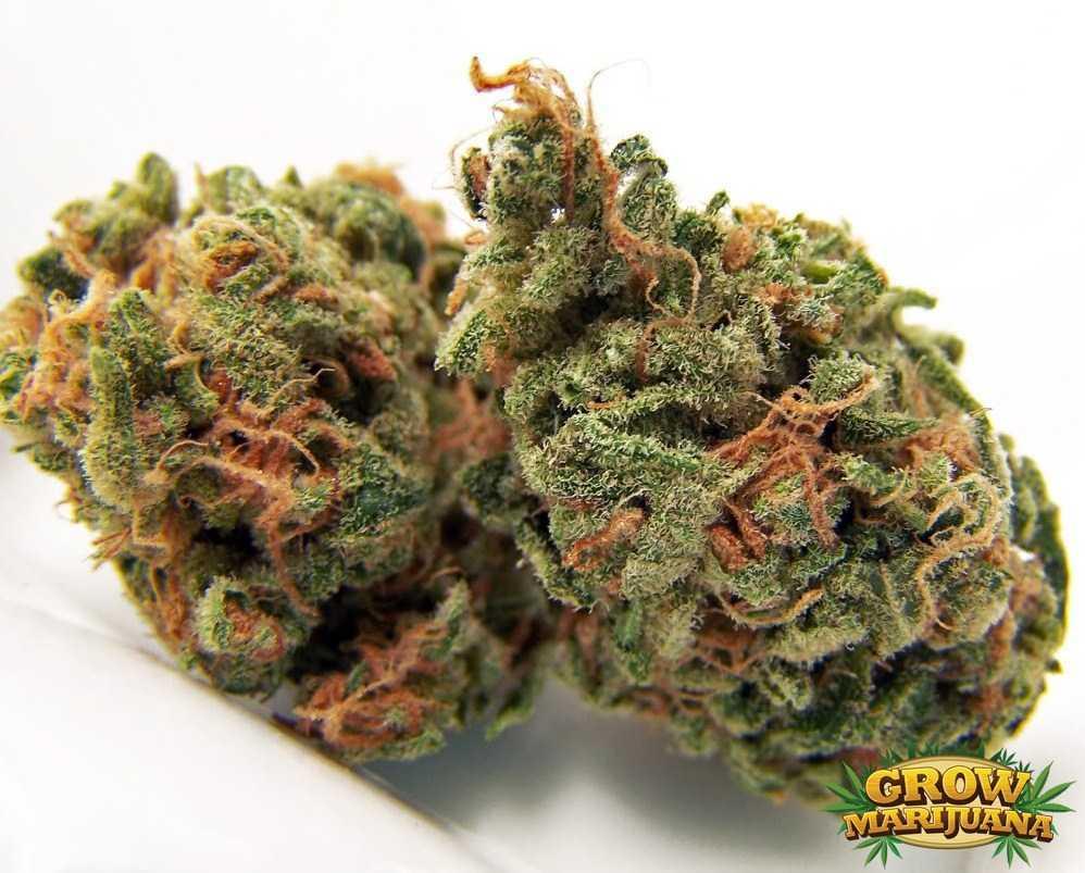 cannalope haze seeds   strain review grow marijuana