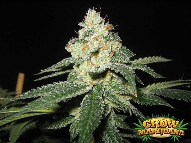 cataract kush seeds   strain review grow marijuana