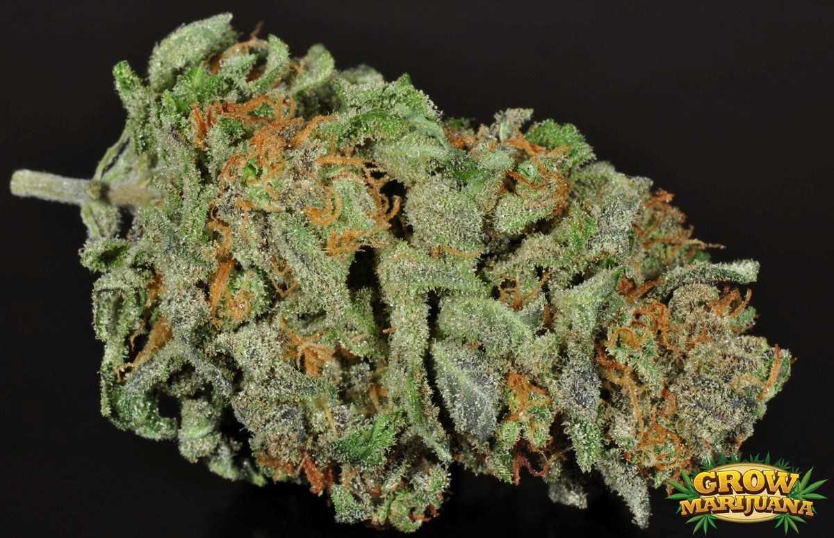 Cataract Kush Seeds - Strain Review | Grow-Marijuana.com