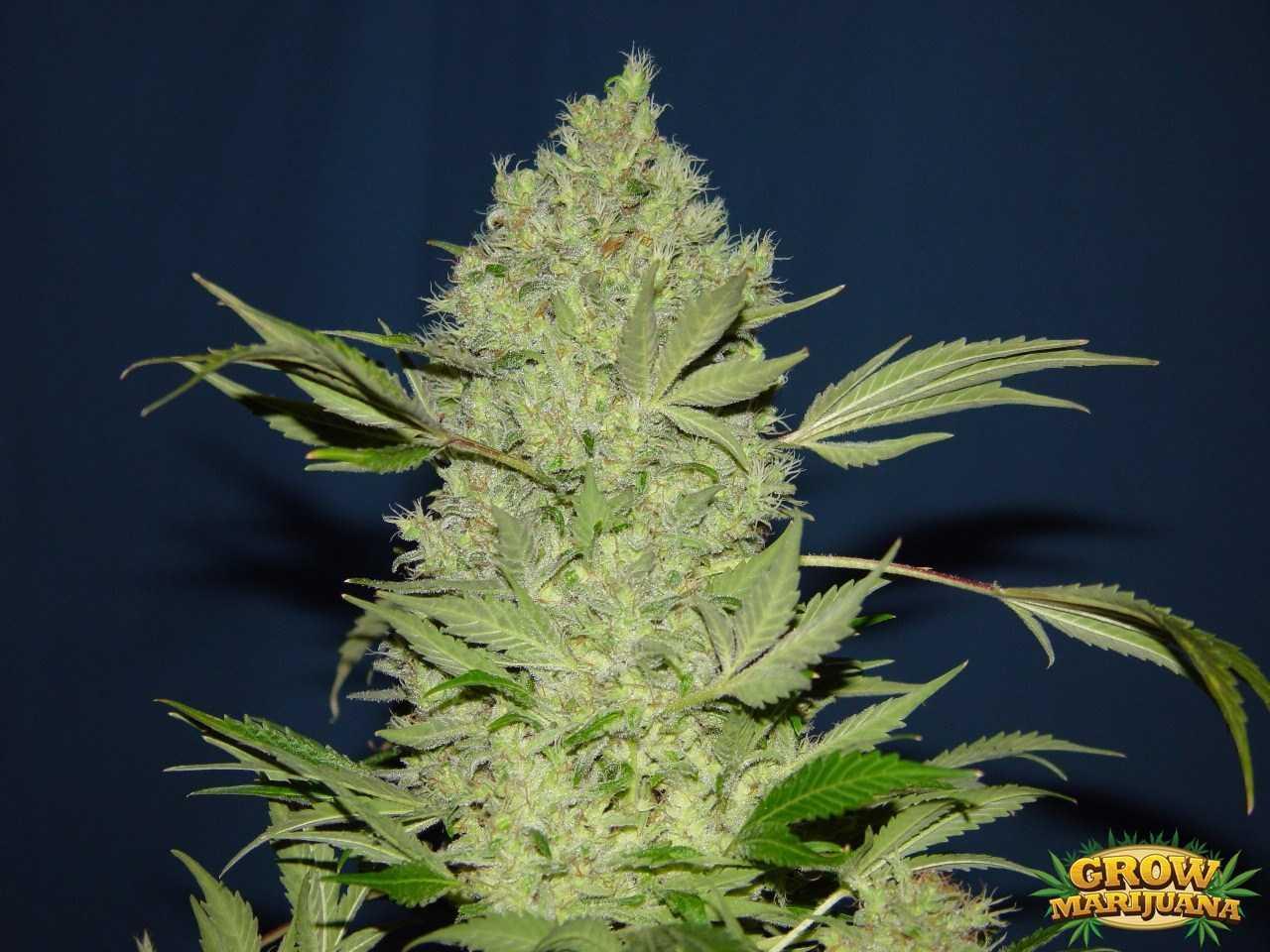 Gorilla Glue Review >> Chronic Seeds - Strain Review | Grow-Marijuana.com