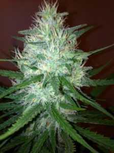 cinderella-99-marijuana-strain-review