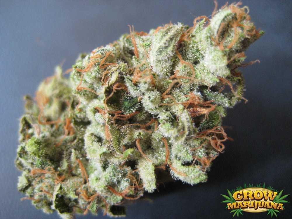 Clockwork Orange Seeds Strain Review Grow Marijuana Com