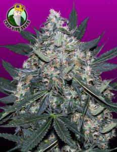 black-indica-marijuana-strain