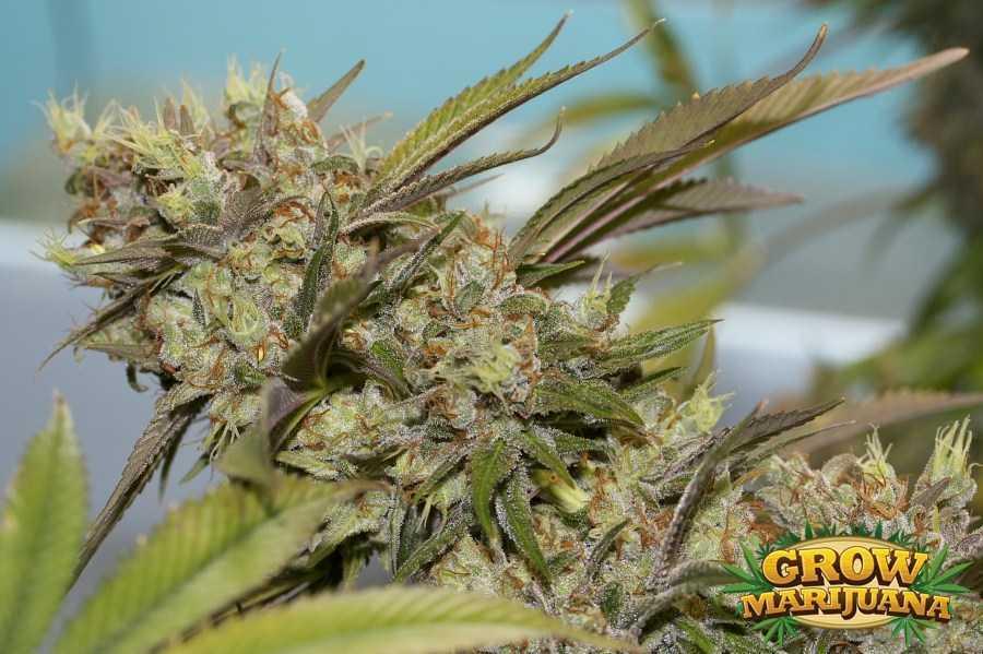 Death Star Weed Seeds Strain Review Grow Marijuana Com