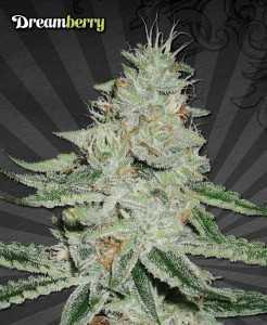 Dreamberry Marijuana