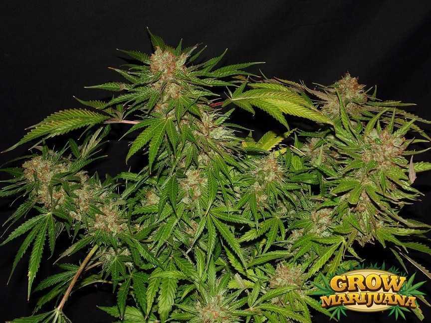 Dutch Haze Seeds Strain Review Grow Marijuana Com