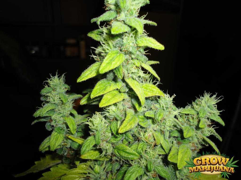 el nino seeds   strain review grow marijuana