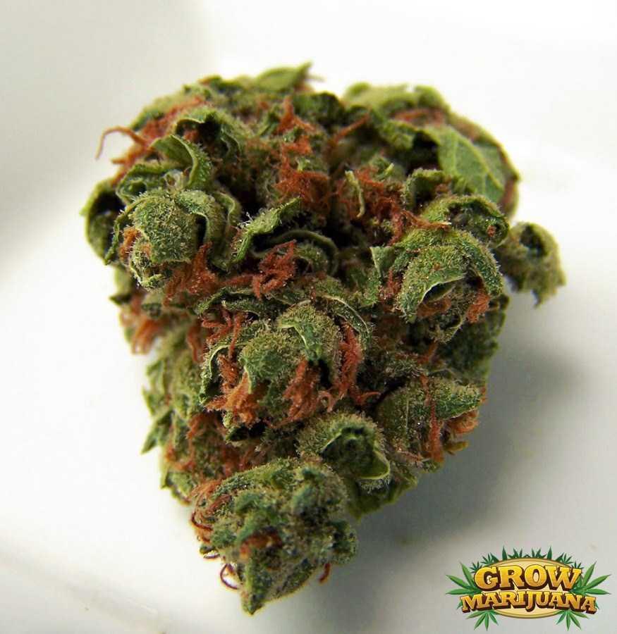 Emerald Jack Seeds Strain Review Grow Marijuana Com