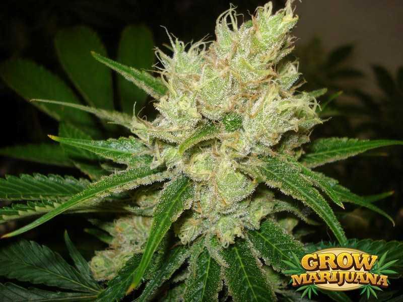 Gorilla Glue Review >> Euforia Seeds - Strain Review | Grow-Marijuana.com