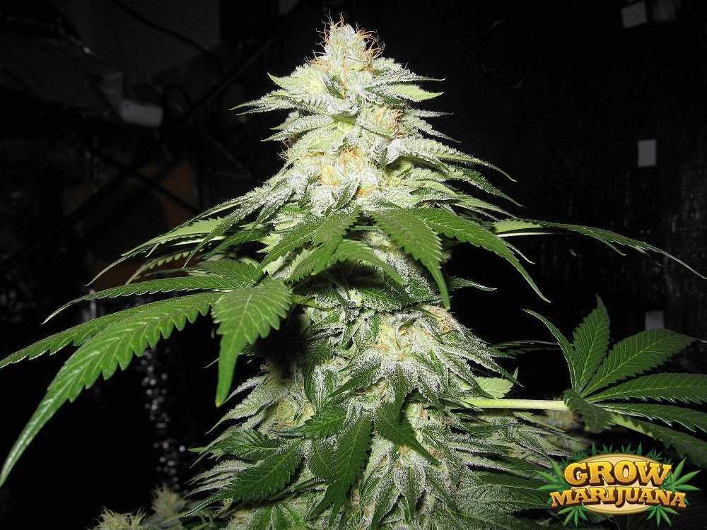 Fire Og Seeds Strain Review Grow Marijuana Com