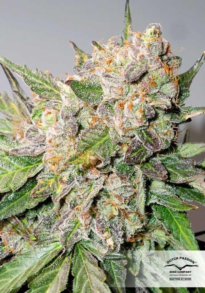 Glueberry O G - Dutch Passion -