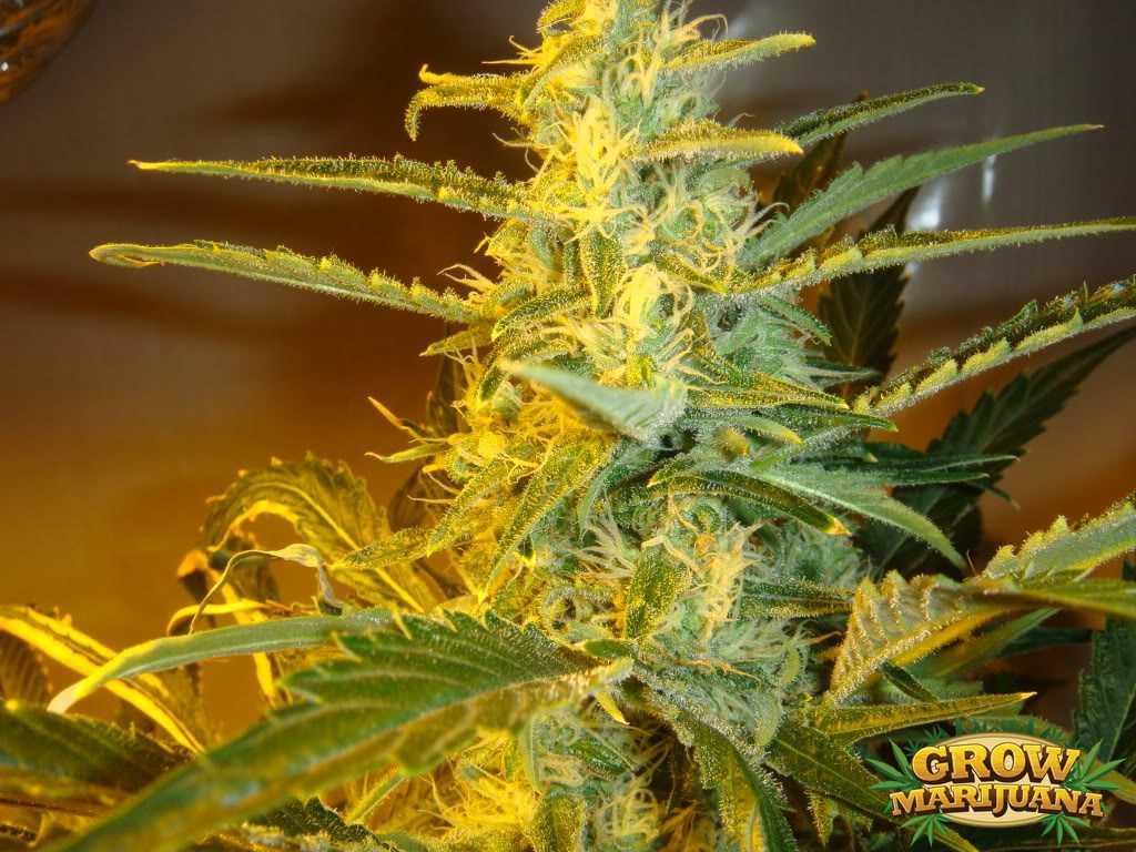 Gorilla Glue Review >> Golden Haze Seeds - Strain Review   Grow-Marijuana.com