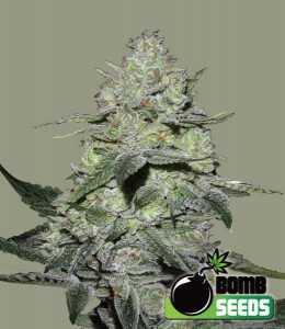 Gorilla-Bomb- Marijuana