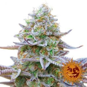 Gorilla Zkittlez marijuana seeds