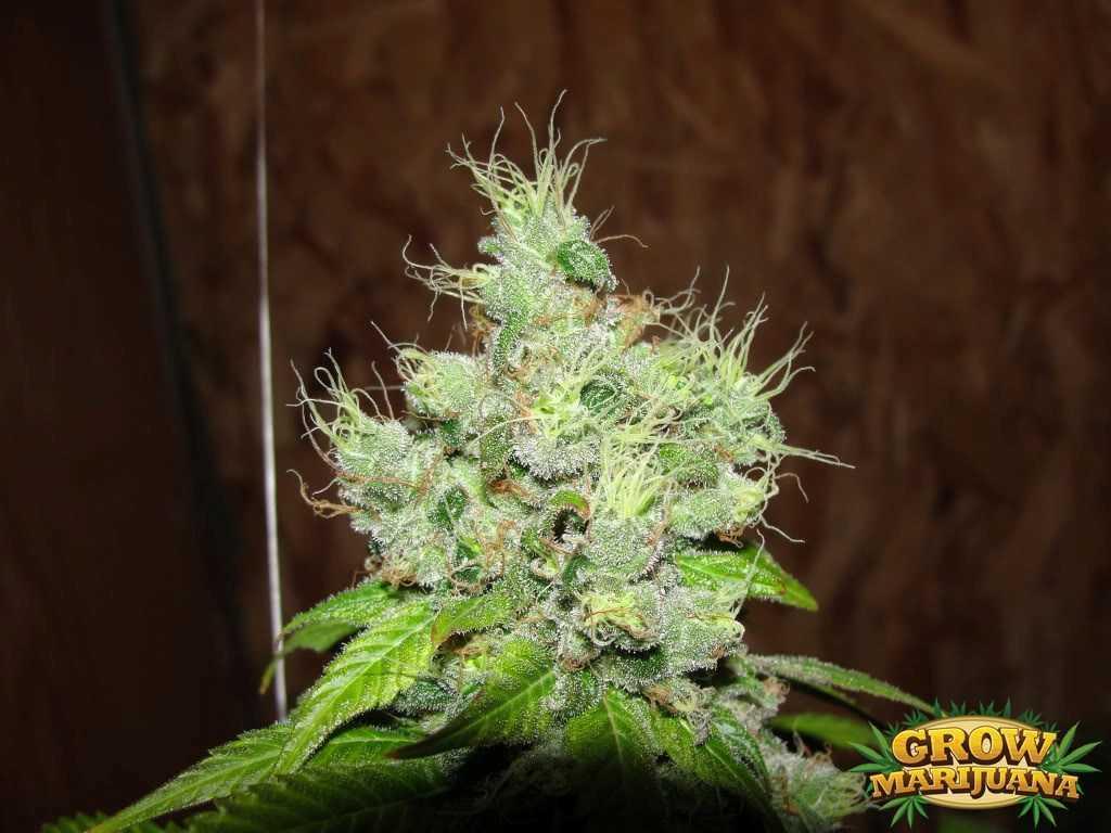 Hash Plant Seeds Strain Review Grow Marijuana Com