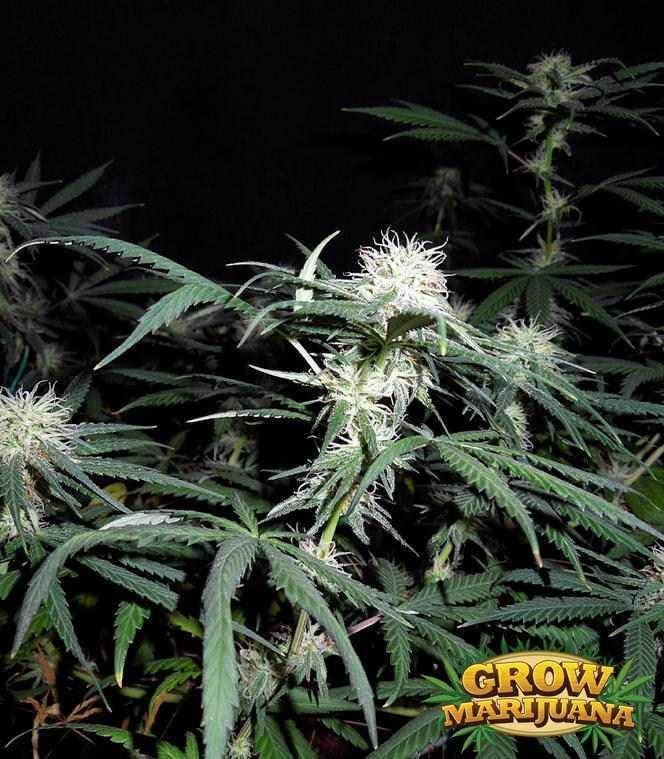 Gorilla Glue Review >> Hawaiian Snow Seeds - Strain Review   Grow-Marijuana.com
