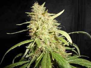 Herijuana Marijuana