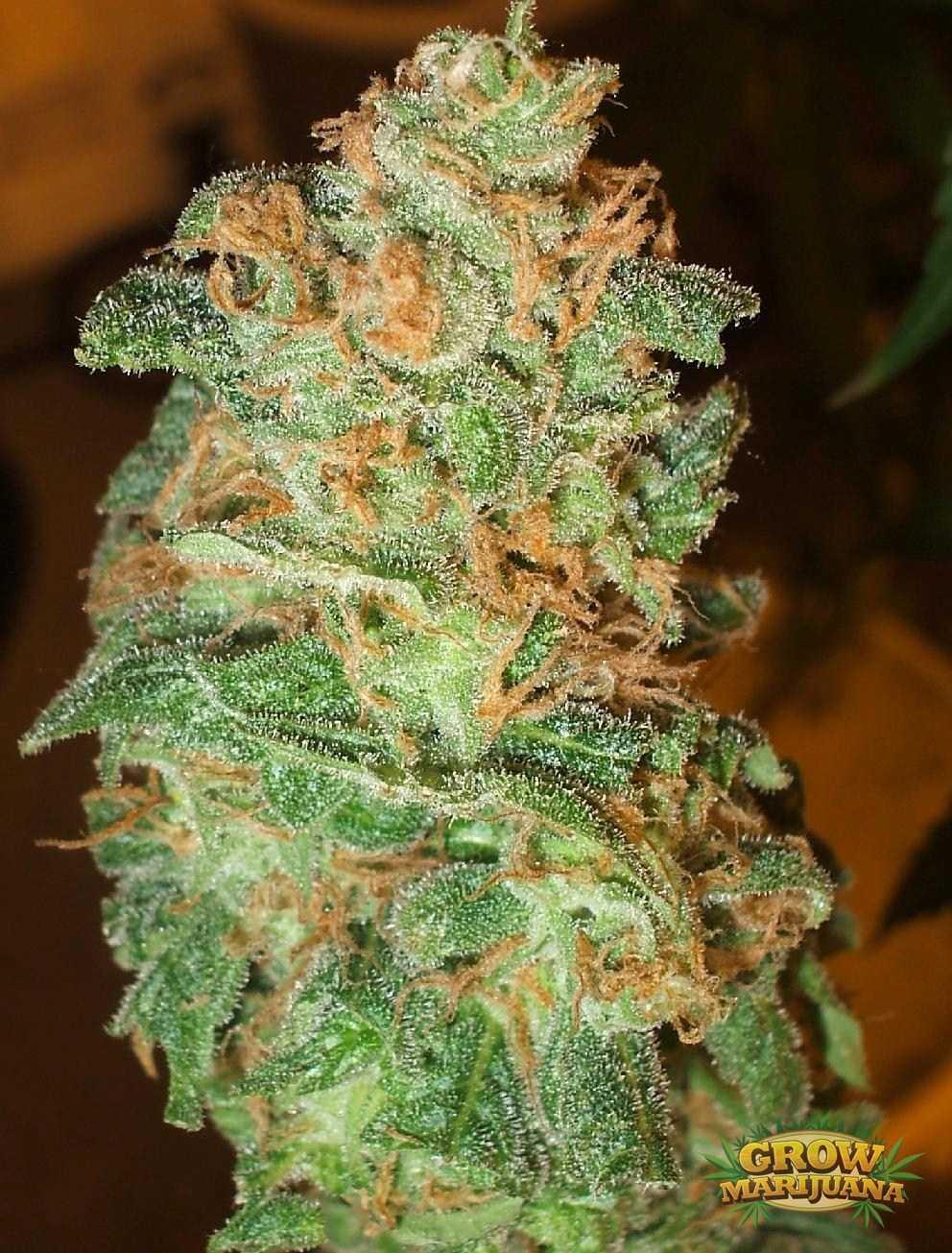 Hollands Hope Hollands Hope Seeds Grow Marijuana Com