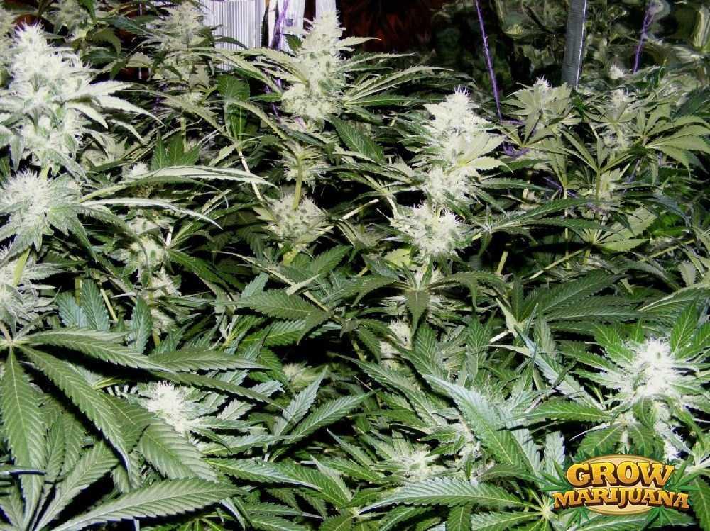 ice cream weed seeds   strain review grow marijuana