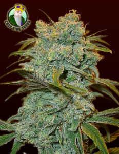 ice-wreck-marijuana-strain