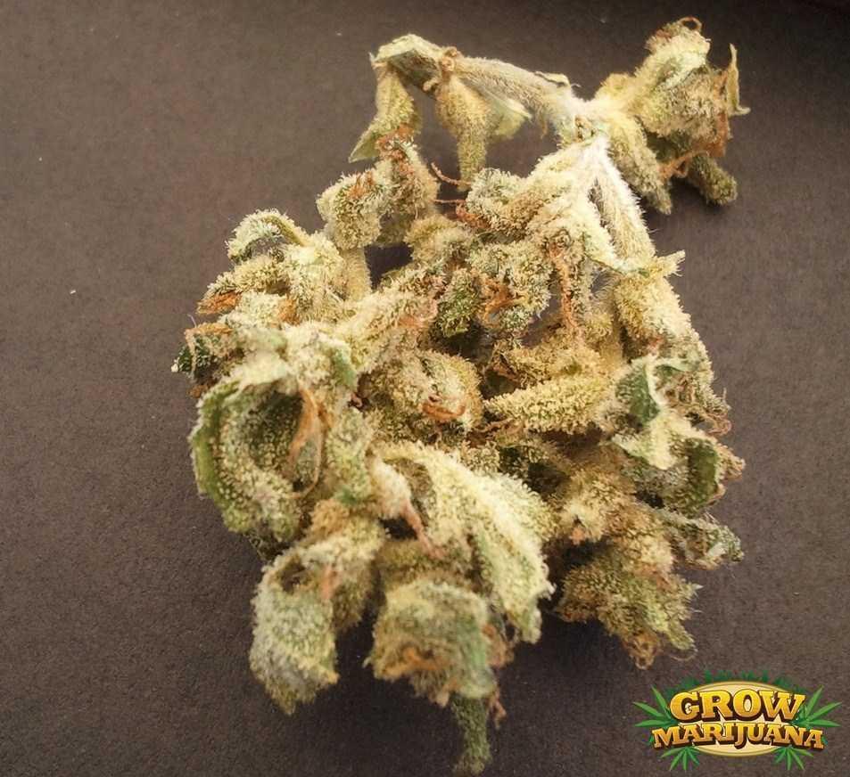 Iranian Autoflower Seeds Strain Review Grow Marijuana Com