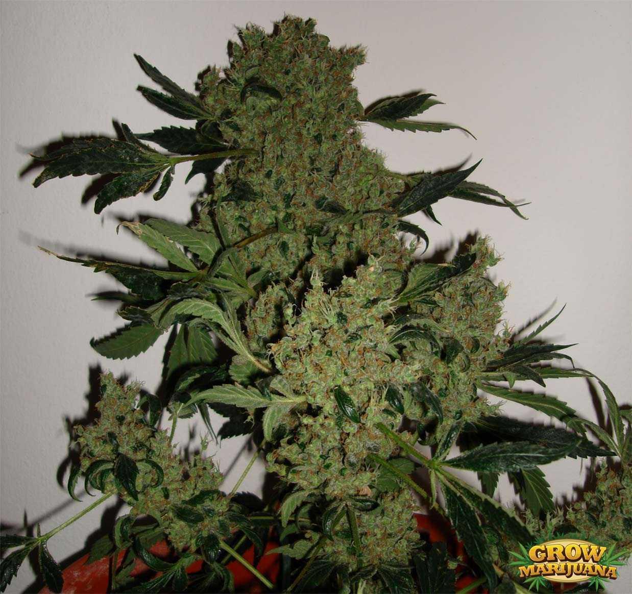 Gorilla Glue Review >> Jack Flash Seeds - Strain Review   Grow-Marijuana.com