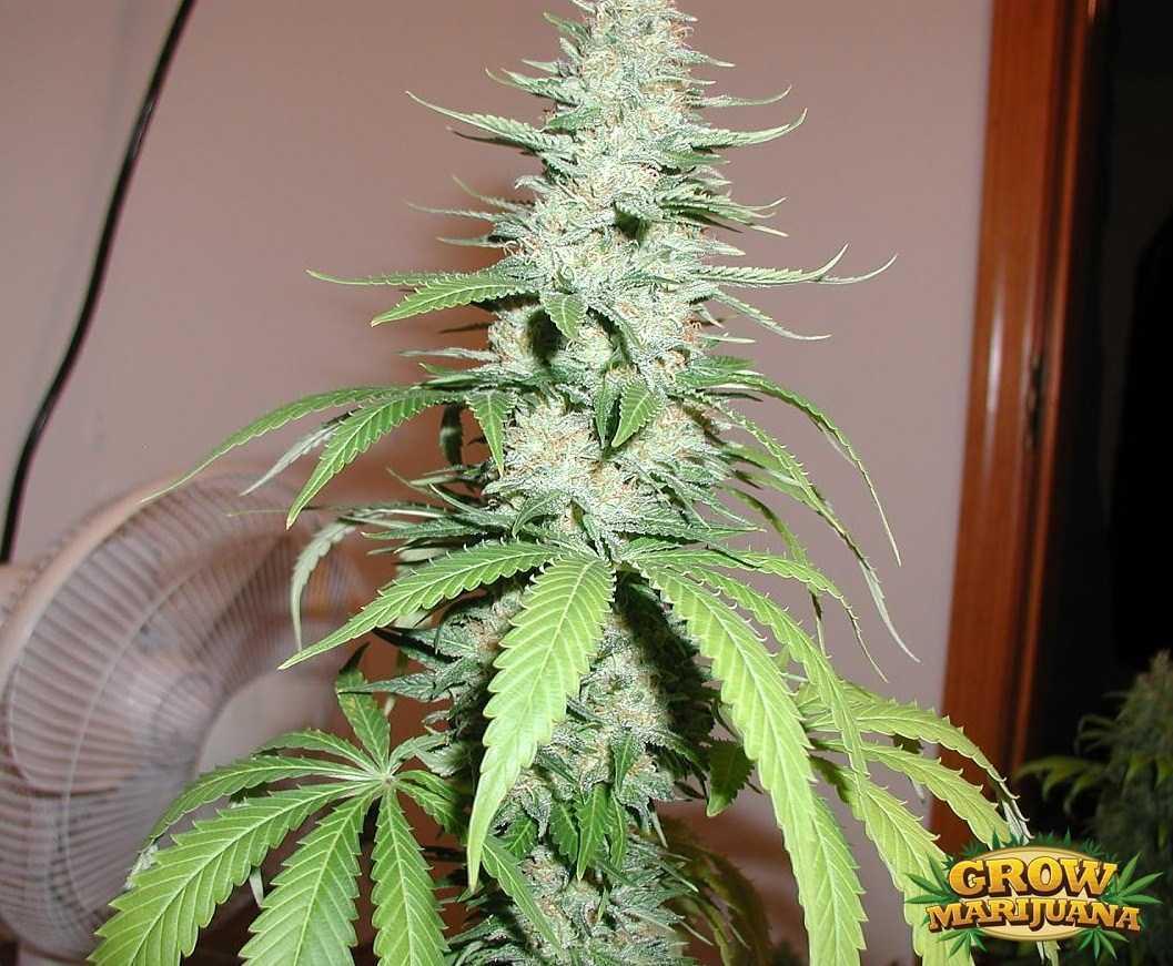 Gorilla Glue Review >> Jacky White Seeds - Strain Review | Grow-Marijuana.com